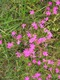 Goździk Kropkowany  (Diantho-Armerietum Elongatae)